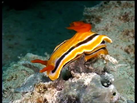 vídeos y material grabado en eventos de stock de ms sea slug, c. magnifa, balancing on sea sponge on reef, mabul, borneo, malaysia - patrones de colores