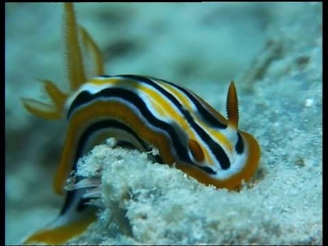 vídeos de stock, filmes e b-roll de cu sea slug, c.annae, on reef, extending and retracting horn, mabul, borneo, malaysia - gastrópode