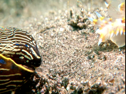 a sea slug escapes from a californian aglaja. - nudibranch stock videos & royalty-free footage