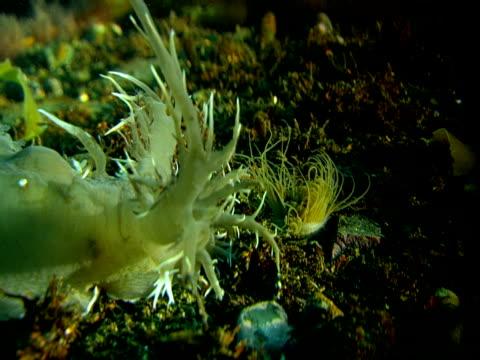 A sea slug extends its lacy tentacles.