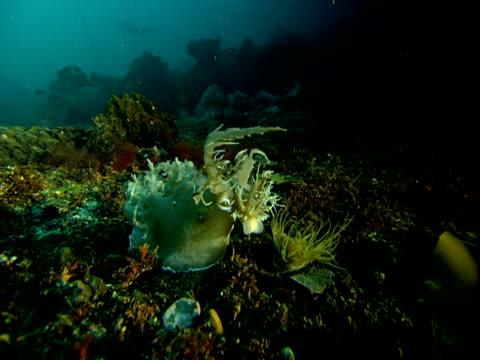 A sea slug feeds on drifting plankton.