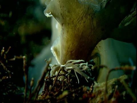 A sea slug feeds on the ocean floor.
