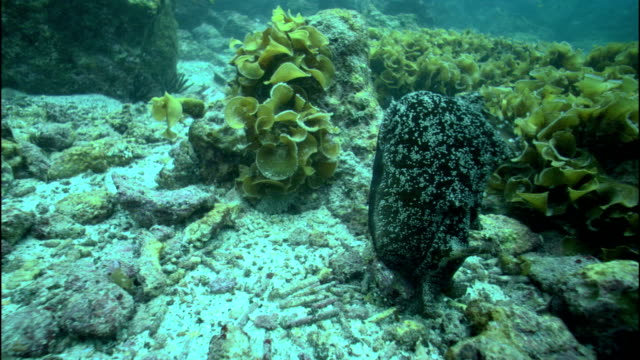 a sea slug forages on corals and seaweed. - nudibranch stock videos & royalty-free footage