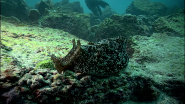 a sea slug inches along the ocean floor as a sea lion plays nearby. - nudibranch stock videos & royalty-free footage