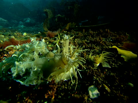 a sea slug moves on the ocean floor. - blötdjur bildbanksvideor och videomaterial från bakom kulisserna