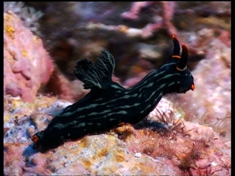 ms sea slug, nembrotha kumbaryana, black with red horns, on coral, side view, malapascua, philippines - nudibranch stock videos & royalty-free footage