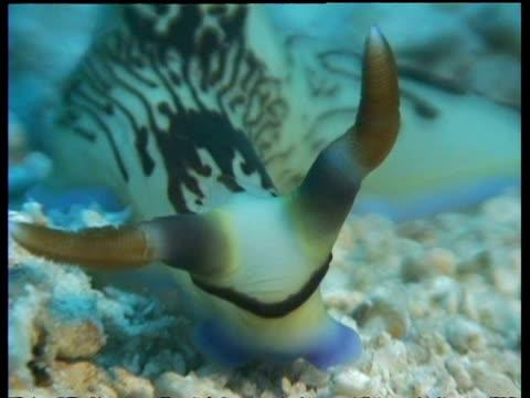 vídeos de stock, filmes e b-roll de cu sea slug, nembrotha lineata, head with long horns, zooms out to ms slug crawling to camera, kapalai, sipadan, borneo, malaysia - gastrópode