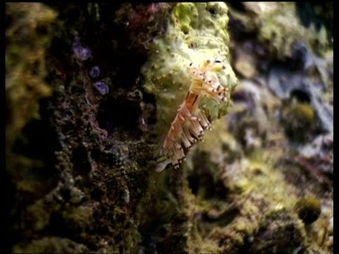 vídeos y material grabado en eventos de stock de ms sea slug, nudibranch, climbing up the side of reef, sipadan, borneo, malaysia - patrones de colores