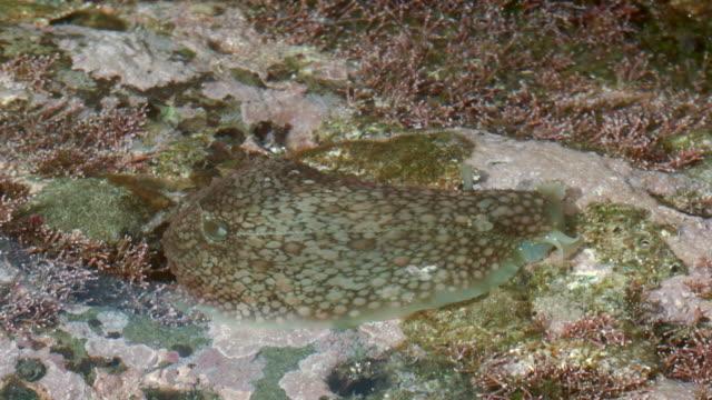 sea slug or nudibranch camouflaged among coralline algae in a rock pool - gezeitentümpel stock-videos und b-roll-filmmaterial
