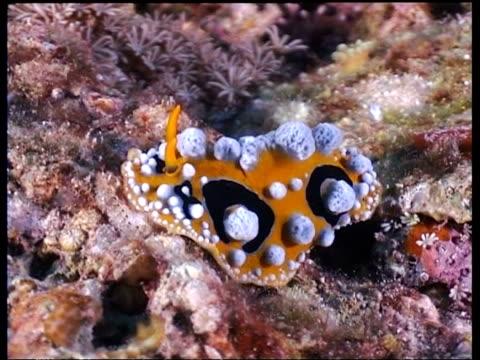 vídeos y material grabado en eventos de stock de ms sea slug, phylidia ocellata, weird blobs on body, crawling slowly up reef, malapascua, philippines - patrones de colores