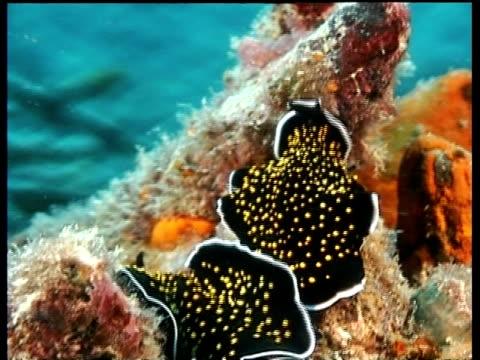 vídeos de stock, filmes e b-roll de sea slug, pseudobiceros sp, two moving, mabul, borneo, malaysia - moving activity