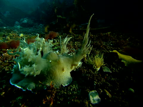 a sea slug raises its lacy tentacles - blötdjur bildbanksvideor och videomaterial från bakom kulisserna