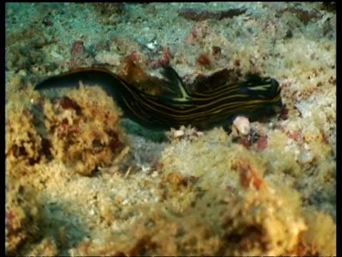 ms sea slug, roboastra luteolineolata, crawling along reef, high angle, mabul, borneo, malaysia - animal colour stock videos & royalty-free footage