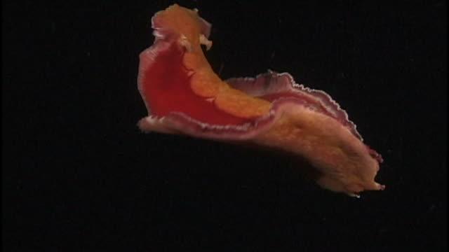 Sea slug (unknown species) swimming. Papua New Guinea