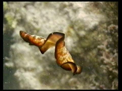 vídeos de stock, filmes e b-roll de ms sea slug swimming - molusco invertebrado