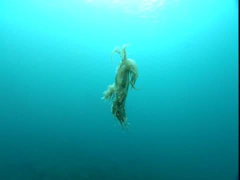 a sea slug undulates through clear water. - mollusk stock videos & royalty-free footage