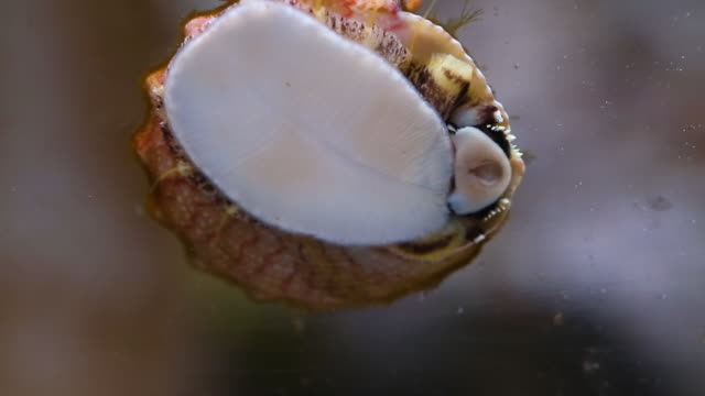 a sea snail attached to a glass - aquatisches lebewesen stock-videos und b-roll-filmmaterial