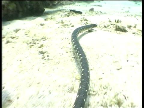 sea snake gliding over sea floor, pacific ocean. - lunghezza video stock e b–roll