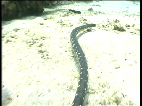 sea snake gliding over sea floor, pacific ocean. - tierfarbe stock-videos und b-roll-filmmaterial