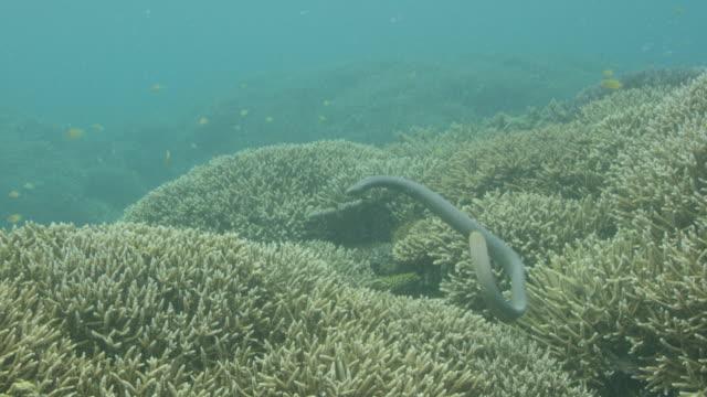 sea snake swimming among hard coral