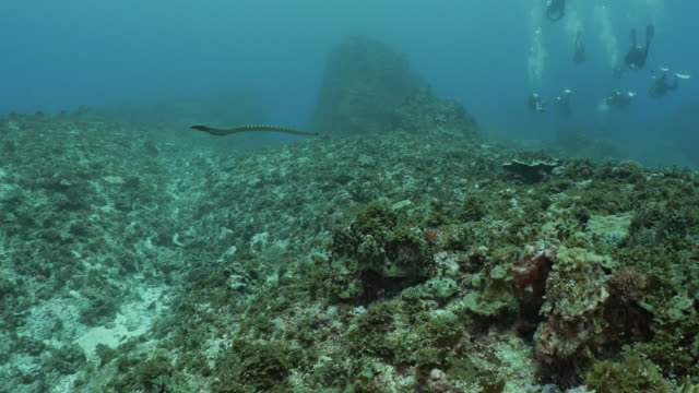 sea snake swimming and cruising at coral reef - philippine sea stock videos & royalty-free footage