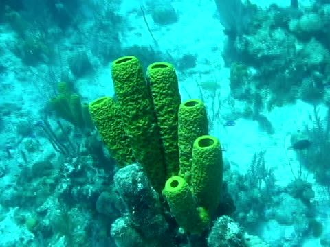 CU, Sea sponges, (Porifera) in sea, Turks and Caicos Islands