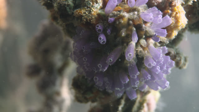 sea squirts on submerged mangrove root, belize - 数匹の動物点の映像素材/bロール