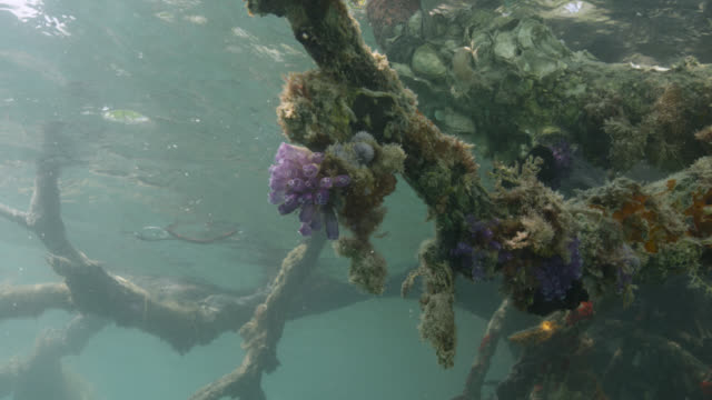 sea squirts on submerged mangrove root, belize - sea squirt stock videos & royalty-free footage