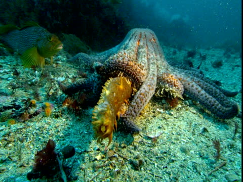 A sea star attacks a sea cucumber on the ocean floor.