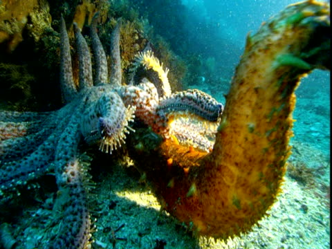 A sea star fights with a sea cucumber on the ocean floor.
