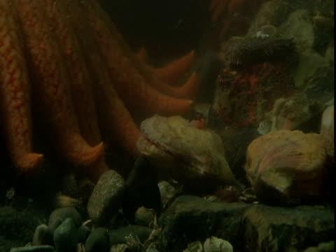 A sea star investigates a scallop bed.