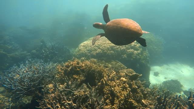 vídeos de stock, filmes e b-roll de a sea turtle and coral reef - organismo aquático