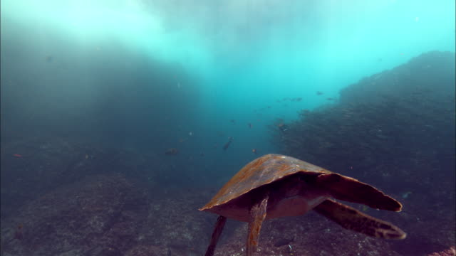 a sea turtle and tropical fish swim near the galapagos islands. available in hd. - wasserschildkröte stock-videos und b-roll-filmmaterial