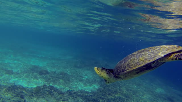 sea turtle diving towards bottom of ocean floor - reef stock videos & royalty-free footage