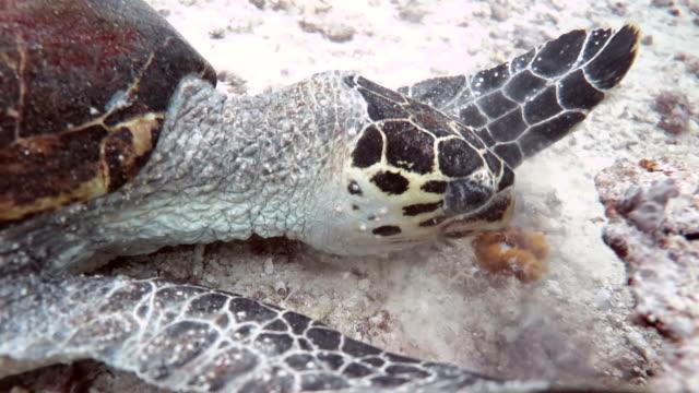 Sea Turtle Eating Coral, Sipadan, Malaysia