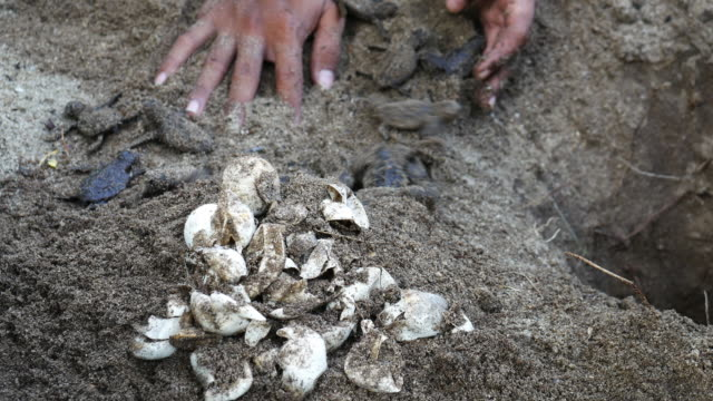 meeresschildkröte eier mit neugeborenes tier - nest stock-videos und b-roll-filmmaterial