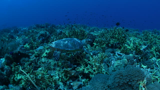 Sea turtle feeding in coral reef