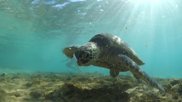 sea turtle feeding in the shallows with a snorkeler nearby - hawaiianische kultur stock-videos und b-roll-filmmaterial