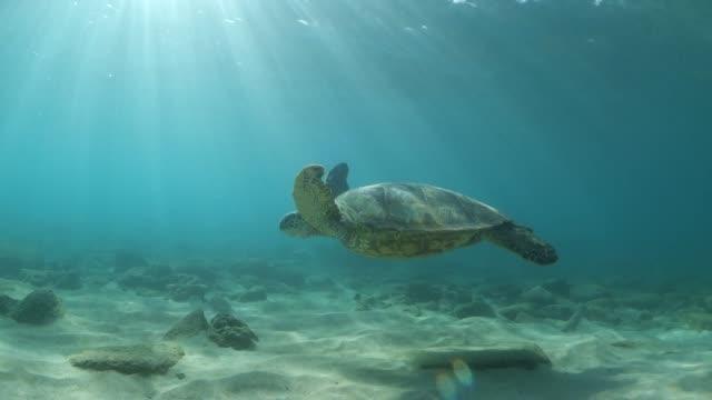 vidéos et rushes de a sea turtle glides over the ocean floor under the sun - algues