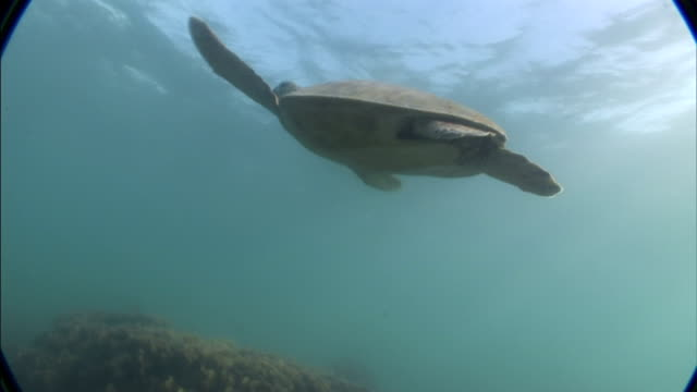 a sea turtle gracefully swims in the ocean. - sea turtle stock videos & royalty-free footage