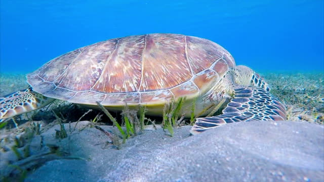 sea turtle grazing and swimming on seagrass bed / marsa alam - remora fish stock videos & royalty-free footage