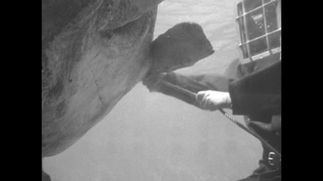 sea turtle 'grumpy' on the tank floor with a man in a diving helmet using a hose on the sea turtle as it tries to get away / the diver and a sailor... - diving helmet stock videos and b-roll footage