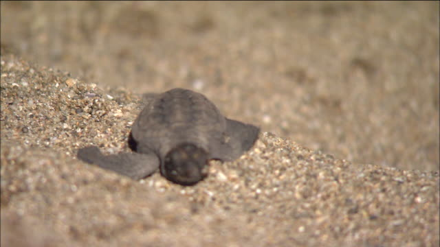 a sea turtle hatchling scrambles along the sand. - green turtle stock videos and b-roll footage