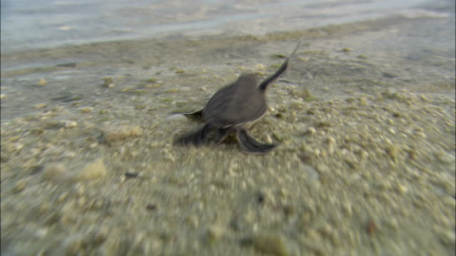 a sea turtle hatchling scurries over the sand and into the sea. - sea turtle stock videos & royalty-free footage