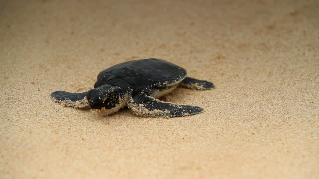 stockvideo's en b-roll-footage met sea turtle hatchling - soepschildpad