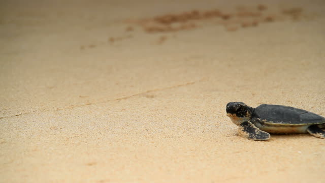 stockvideo's en b-roll-footage met sea turtle hatchling - schildpad