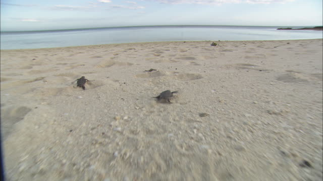 sea turtle hatchlings scurry across sot sand toward the sea. - sea turtle stock videos & royalty-free footage
