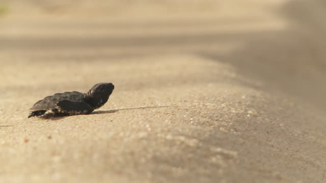 Sea turtle hatchlings slowly waddle over a sandy beach.