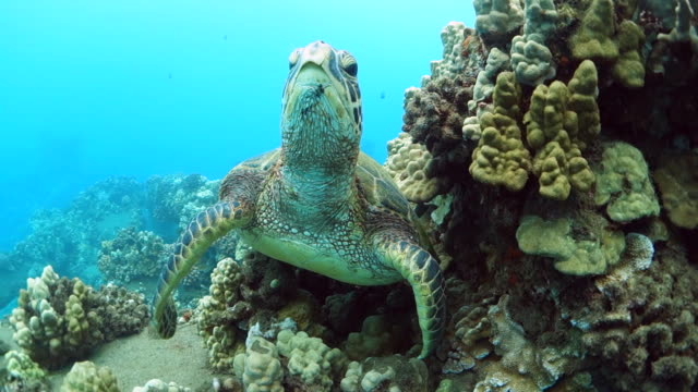 sea turtle in a reef looks at camera in maui, hi - hawaii islands stock videos & royalty-free footage