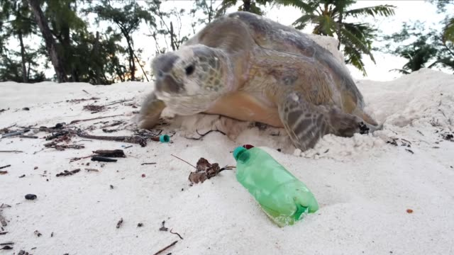 stockvideo's en b-roll-footage met sea turtle on a beach with plastic pollution - schildpad